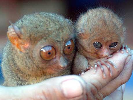 Gremlin Or Tasier Tiny Big Eyed Primate Baby Animal Zoo