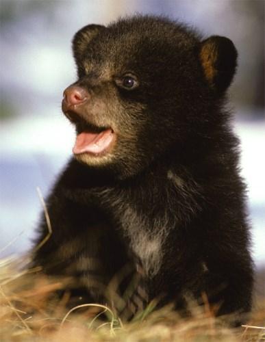 Rare Black Bear Quints!   Baby Animal Zoo