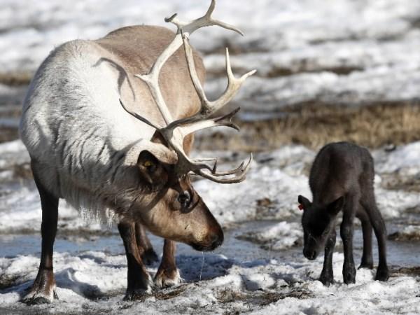 Baby Reindeer For Christmas! | Baby Animal Zoo